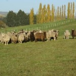 Polwarth Ewes